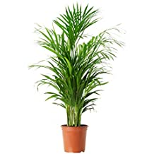 AMERICAN PLANT EXCHANGE Areca Palm Indoor/Outdoor Live, 1 Gallon, Clean Air of Toxins