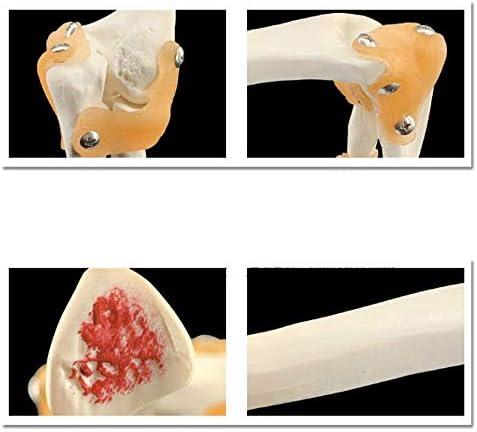 Educatief model Medisch menselijk ellebooggewricht Skeletmodel, anatomisch model Ellebooggewricht Bewegingsmechanisme met ligament skeletmodel
