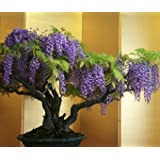 "Seedeo Bonsai glycine Wisteria Sinensis ""blue"""