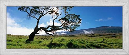 Easy Art Prints Panoramic Images's 'Koa Tree On A Landscape, Mauna Kea, Big Island, Hawaii, USA' Premium Framed Canvas Art - 24