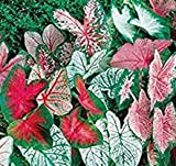 Great Price, (20) Caladium Spectacular Mixed Colors, Elephant Ears, Small Bulbs, Root, Rhizome, Plant, Perennial