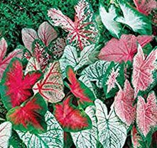 Great Price, (20) Caladium Spectacular Mixed Colors, Elephant Ears, Small Bulbs, Root, Rhizome, Plant, Perennial by Seeds*Bulbs*Plants*&More