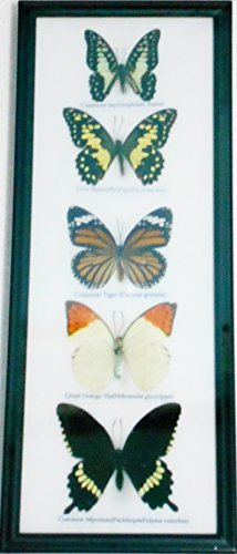 (REAL 5 Butterflies Wall decor Hanging Collection Taxidermy in frame)