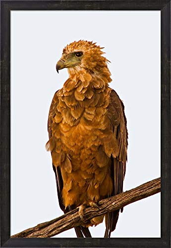 Tawny Eagle on Branch Above The Maasai Mara Kenya by Joe Restuccia III/Danita Delimont Framed Art Print Wall Picture, Espresso Brown Frame, 21 x 30 inches