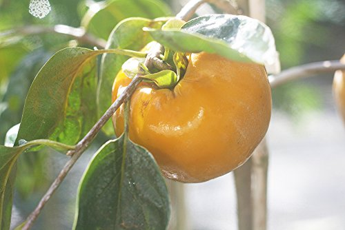 FUYU Asian Persimmon - Size: 3-4 ft, Live Plant, Includes Special Blend Fertilizer & Planting Guide by PERFECT PLANTS (Image #4)