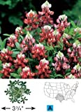 Wildflower Alamo Fire/Maroon 100 Hybrid Seeds by David's Garden Seeds Red