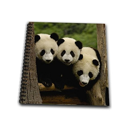 3dRose db_70209_2 Giant Panda Bears, Wolong China Conservation, China-AS07 POX0378-Pete Oxford-Memory Book, 12 by -