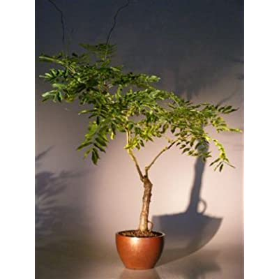 Bonsai Boy's Flowering Japanese Wisteria Bonsai Tree wisteria floribunda: Garden & Outdoor