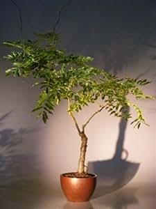 Bonsai Boy's Flowering Japanese Wisteria Bonsai Tree wisteria floribunda