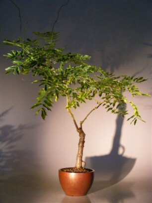 Bonsai Boy's Flowering Japanese Wisteria Bonsai Tree wisteria floribunda by Bonsai Boy