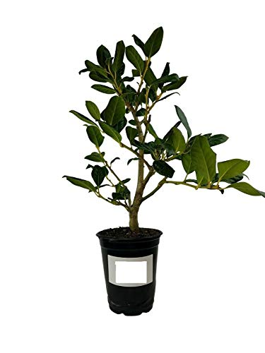 - Winter Berries Nellie R.Stevens Holly Tree Live Plant Quart Pot Tree Shrub Planting