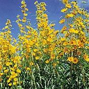 maximilian sunflower seeds - 8