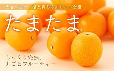 宮崎県産 完熟きんかん 『たまたま』 秀品 特大玉 3Lサイズ(3.0kg)
