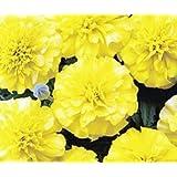 Bobby-Seeds Tagetessamen Bonanza Yellow, Studentenblume Portion