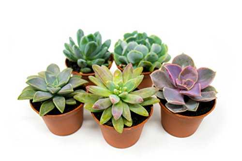 Succulent Plants (5 Pack), Fully Rooted in Planter Pots with Soil - Real Live Potted Succulents / Unique Indoor Cactus Decor by Plants for Pets -