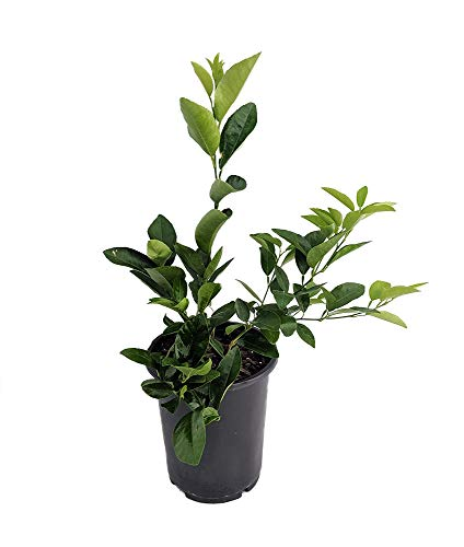 Potted Fruit Plants - Hirt's Key Lime Tree + Certificate - 6