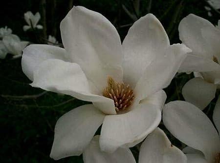 Organic Magnolia Dried Flowers Yulan Lilytree Magnolia denudata Fragrant Herb