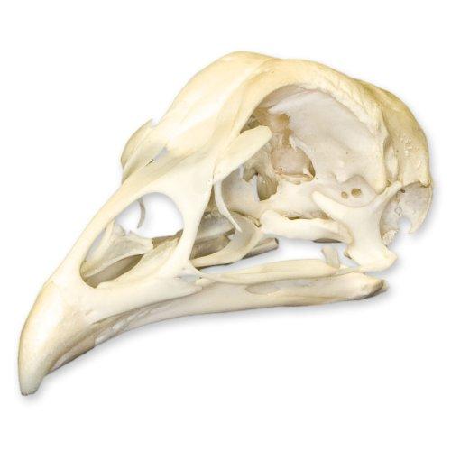 Real Chicken Skull - Perfect