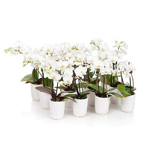 Just Add Ice J-428 Mini White Orchid Plants, 12 Pack