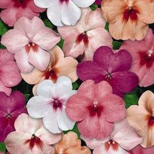 Treasuresbylee - Tempo Butterfly MIX Impatiens - 25 Heirloom Flower Seeds Impatiens