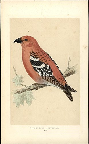 Two-Barred Crossbill c 1880 antique color lithograph bird print