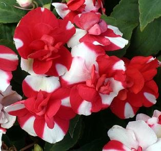 Impatiens Double Athena Red and White 1,000 seeds