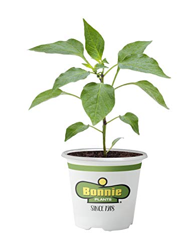 Bonnie Plants 2400 Sweet Banana Pepper Vegetable Plant