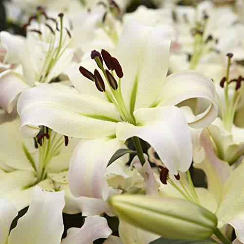 Van Zyverden 83670 Mammoth Tall Lilies Pretty Woman Set of 7 Bulbs Flowering-Plants 16/18 cm White