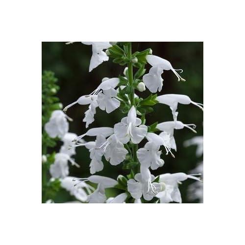 Hazzard's Seeds Salvia Summer Jewel White 250 seeds