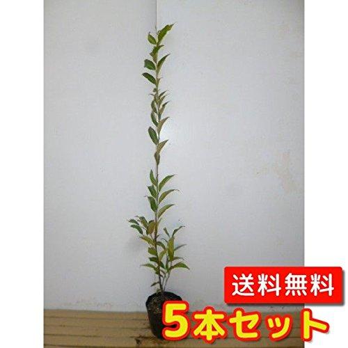 【ノーブランド品】スダジイ樹高1.0m前後15cmポット【5本セット】 B00W4VW2AO