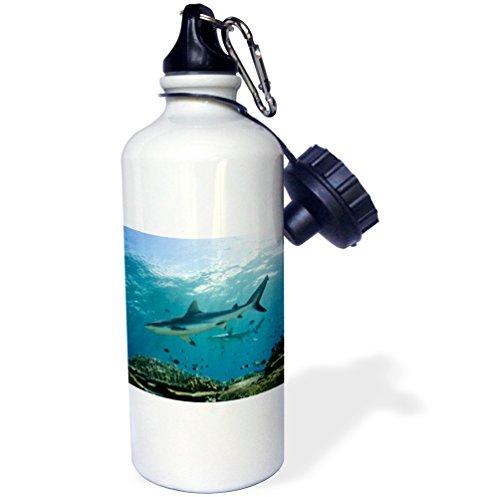 Danita Delimont - Sharks - Grey Reef Shark In shallow water on coral reef, Viti Levu, Fiji. - 21 oz Sports Water Bottle (wb_228498_1)
