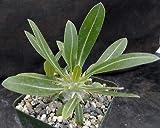 1 Pachypodium Eburneum Succulent w/Dense Fat Caudex Fresh