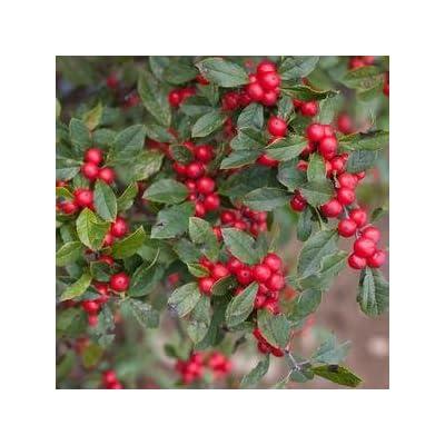 "Ilex-Little-Goblin-Red - 8"" Jumbo Pot (Shrub) : Garden & Outdoor"
