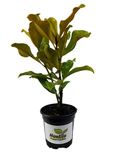 Brackens Brown Beauty Southern Magnolia Tree -  4 Inch Pot - Little Gem Southern Magnolia