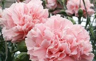 Carnation Seeds Pink Rose Dianthus Caryophylius Flower 5 Seeds Fresh