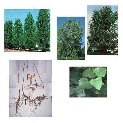 3 Hybrid Poplar Trees, Hefty 16+in, Fast Growing Privacy Screens