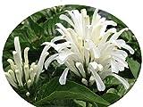 WHITE Brazilian Plume Flower Justicia carnea alba Jacobina Shade Garden Perennial Starter Size 4 Inch Pot