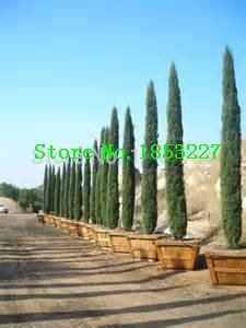 Tree seeds 100 pcs ITALIAN CYPRESS (Cupressus Sempervirens Stricta) seeds Home gardening,