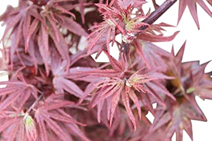 Acer Palmatum Pixie Japanese Maple 12m Tall Large Plants Amazon