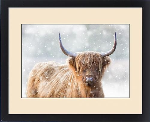 Framed Print of Highland Cattle - in winter snow by Prints Prints Prints