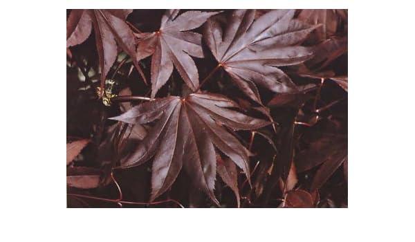 Amazoncom Margaret Bee Purple Japanese Maple 1 Year Graft