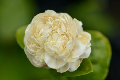 Arabian Jasmine Plant''Grand Duke of Tuscany'' - Fragrant Plant - 6'' Pot by Thai Greenhouse (Image #6)