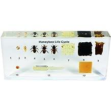 REALBUG Lifecycle of a Honey Bee