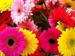 E plant Gerbera Floral Seeds