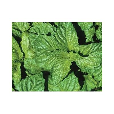 Basil Napoletano Ocimum basilicum 1,000 seeds: Home & Kitchen