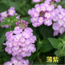 半ツル性ランタナ コバノランタナ 【薄紫】 1株