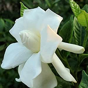 CAPE JASMINE GARDENIA JASMINOIDES fragrant 20 seeds