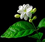 "Hirt's Arabian Tea Jasmine Plant - Maid of Orleans - 6"" Pot - Live Plant"