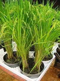 Interior Trading arroz orgánico Semillas 200+ semillas