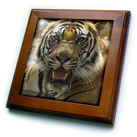 - 3dRose Danita Delimont - Tigers - India. Male Bengal Tiger, Pantera Tigris Tigris, Enjoys a Water Hole. - 8x8 Framed Tile (ft_312717_1)